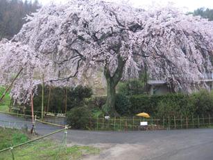 IM西分の桜.jpg