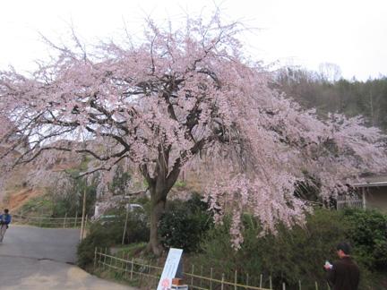 IMG_0522堀池桜.jpg