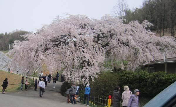 IMG_1379堀家のしだれ桜.jpg
